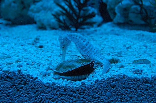 Gra konikiem morskim
