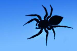 Jad brazylijskiego pająka zastąpi viagrę?