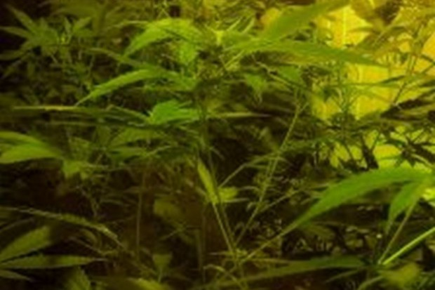 Marek Balicki: zalegalizujmy marihuanę. PO mówi: nie