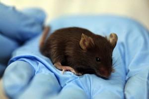 Bardzo zdolne myszy, na razie w laboratorium