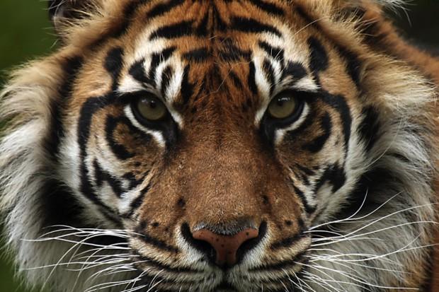 WWF prowokuje: kup krem z tłuszczu tygrysa