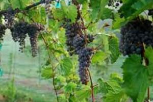 Winogrona mogą łagodzić objawy depresji