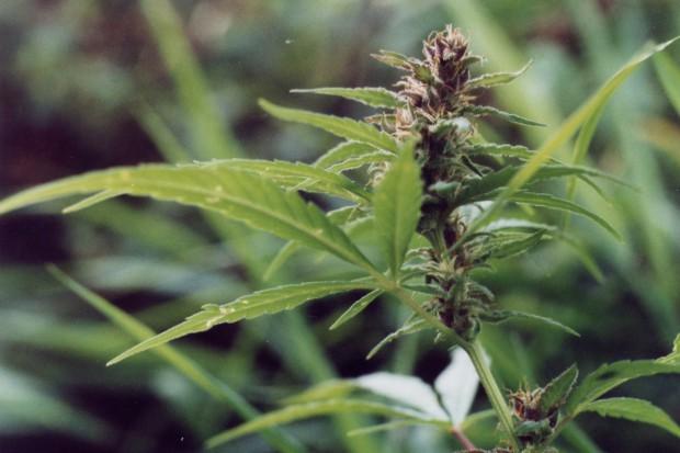 Ewa Kopacz o badaniach klinicznych i leczniczej marihuanie