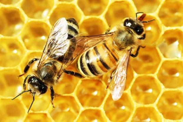 Apiterapia - lecznicze opary pszczół