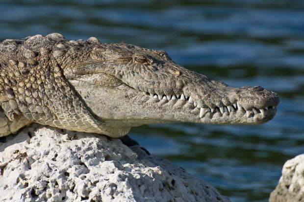Krokodyl dotarł do Polski? Jest gorszy niż dopalacze