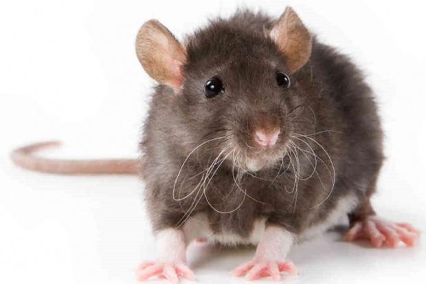 Hongkong: człowiek zachorował na szczurze zapalenie wątroby typu E