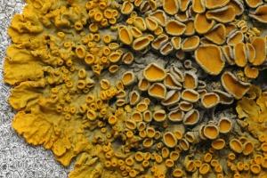 Pomarańczowe wodorosty źródłem leku na raka