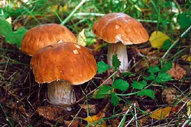 Zmiany w wykazie grzybów dopuszczonych do obrotu