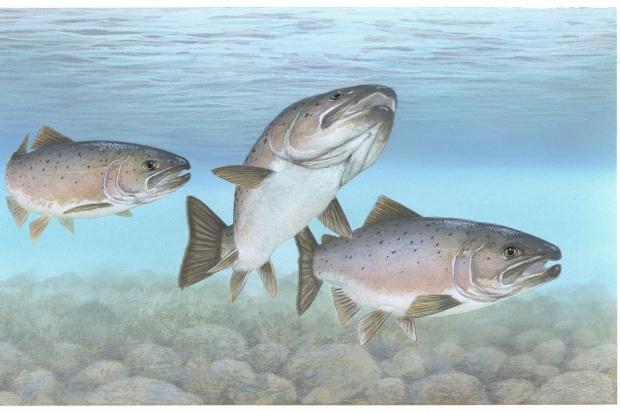 Łososie hodowlane mniej bogate w kwasy omega-3