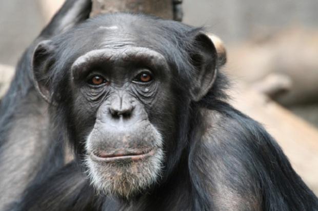 USA: koniec eksperymentowania na szympansach