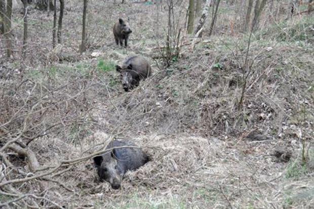 Śląsk: rodzina dzików zamieszkuje w sąsiedztwie ŚIA