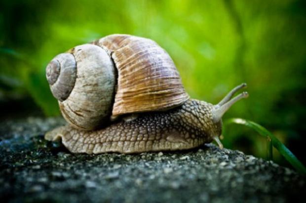 Czysty śluz ślimaka sposobem na bezśladowe gojenie sie ran?