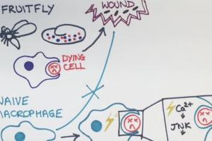 """Komórki odpornościowe są też tym, co """"jedzą"""""""