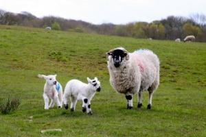 20 lat temu na świat przyszła owieczka Dolly