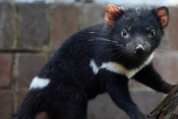 Mleko diabłów tasmańskich lekiem na śmiertelne choroby?