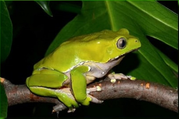 Zgon po wydzielinie żaby z puszczy amazońskiej
