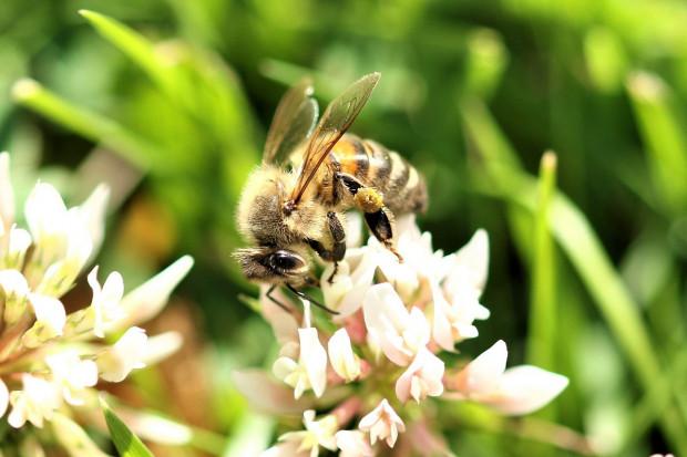 Zawarta w jadzie pszczoły melityna hamuje rozwój raka piersi