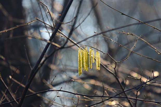 Badanie: zbliża się sezon pylenia roślin. Ich wysokie stężenie sprzyja infekcjom koronawirusa
