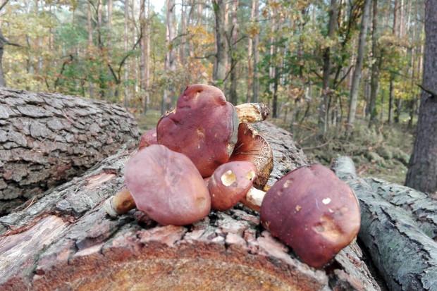 Webinar: właściwości lecznicze grzybów jadalnych